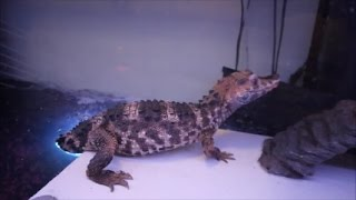 Sobek the dwarf caiman Update!!! Moving in to new habitat. thumbnail