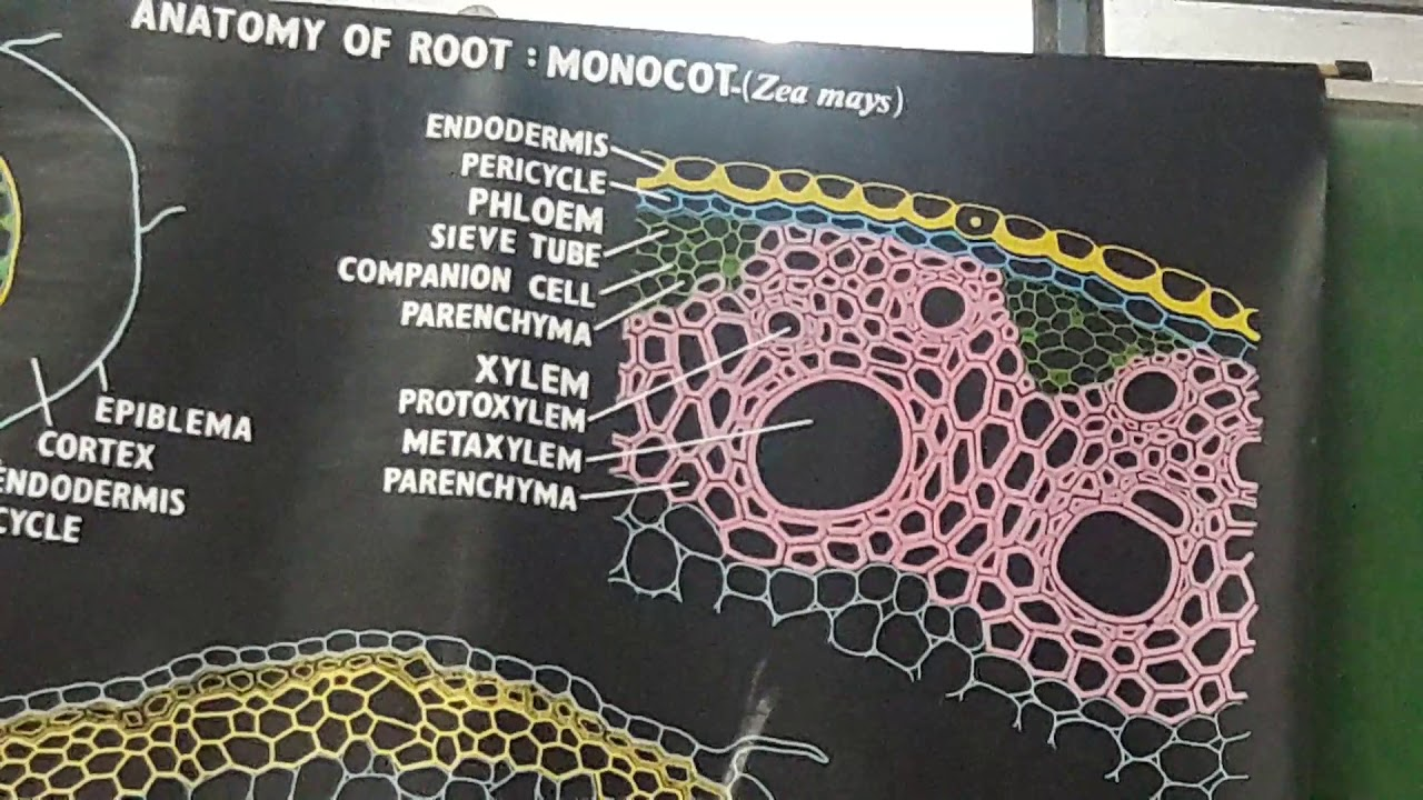 NEET BIOLOGY 2018-2019 Anatomy of Monocot Root & Anatomy of Dicot ...