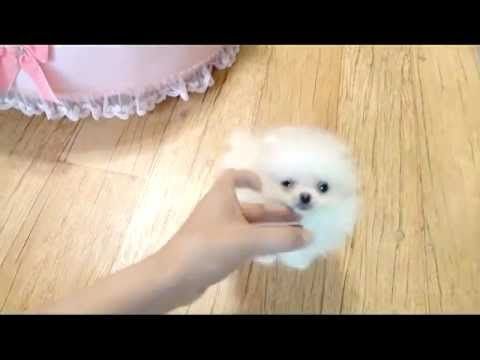 So Cute Teacup Pomeranian Puppy For Sale Youtube