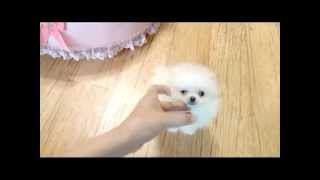 So Cute Teacup Pomeranian Puppy For Sale