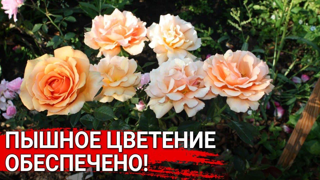Пышное цветение обеспечено!