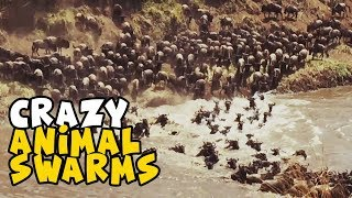 Craziest Animal Swarms | Amazing Swarms and Murmurations 2018