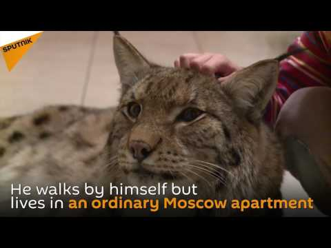 Moscow Man Keeps A Lynx In His Flat