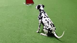 Dalmatian dog Kerttu  Obedience and agility training September 2019