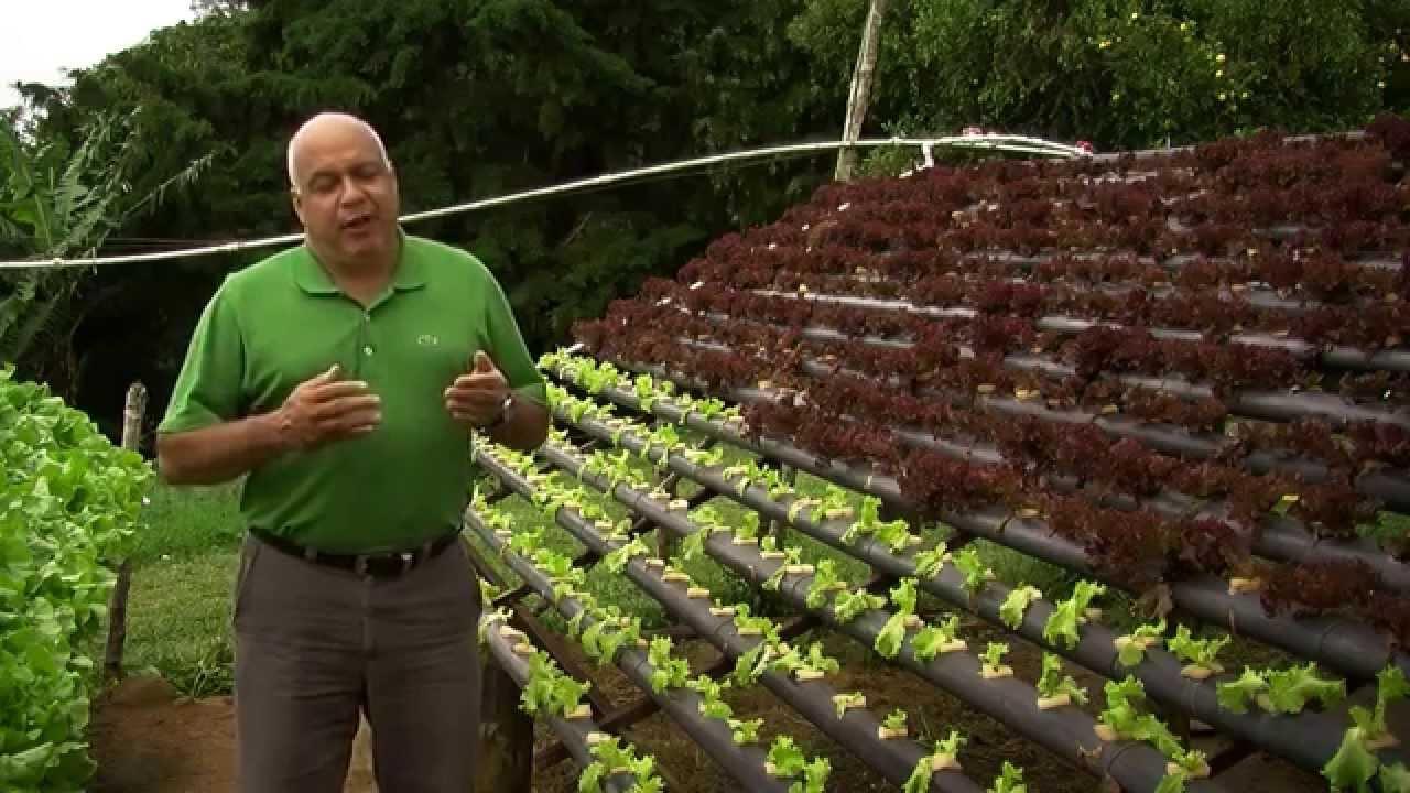 cultivar lechuga en casa en agua