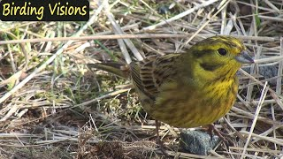 Beautiful Yellowhammer - HD portrait