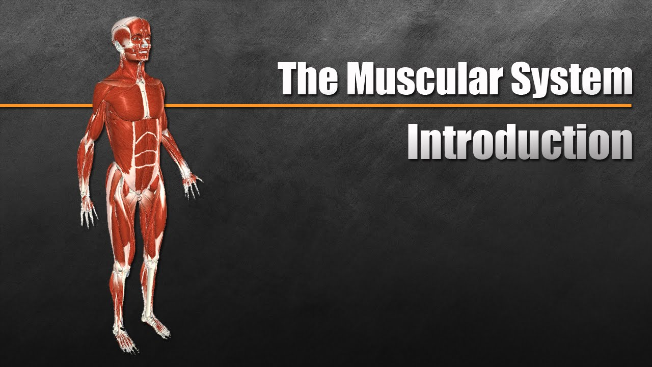 hight resolution of the muscular system explained in 6 minutes