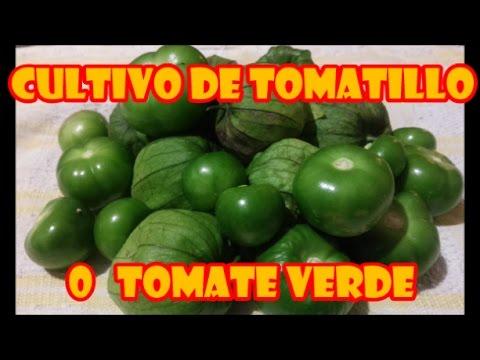 """TOMATE VERDE, TOMATILLO O TOMATE DE CASCARA [][] CULTIVO EN MACETAS """"PROCESO COMPLETO"""""""