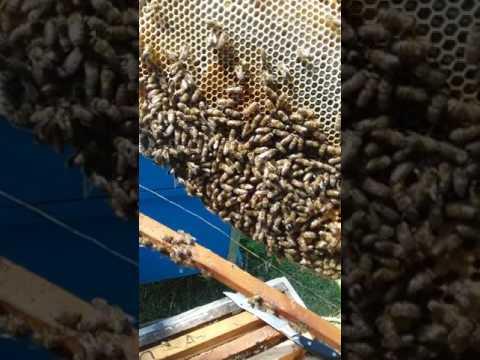 Arıçı Asif Kərimovun Qabaqtəpə arıları.