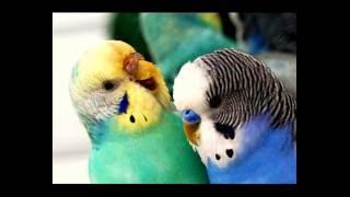 Как определить возраст и пол волнистых попугаев