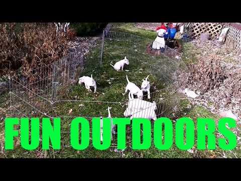 BACKWOODS BULLYS AKC Miniature Bull Terriers