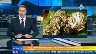 В Пермском крае впервые за 50 лет нашли краснокнижный гриб-баран