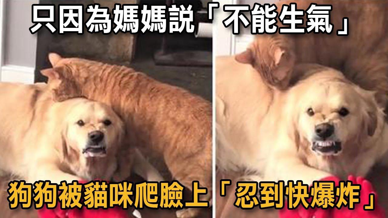 只因為媽媽說「不能生氣」 狗狗被貓咪爬臉上「忍到快爆炸」|狗狗故事|狗與貓