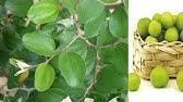 Black Magic Remove from Berry Leaves | بیری کے پتوں سے جادو