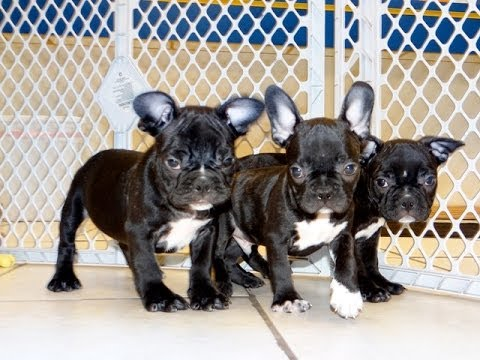 French Bulldog Frenchie Puppies Dogs For Sale In Norfolk