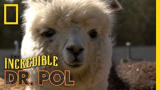Fixing Up Alpacas | The Incredible Dr. Pol