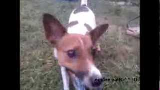 Jack Russel Vs. Beagle Vs. Pug