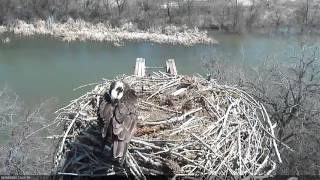 Resident Female Osprey Returns thumbnail