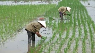 Vietnam farmer rice planting on field