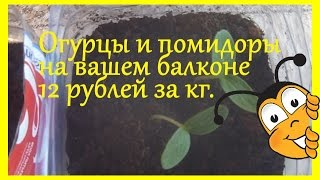 Огурцы и помидоры на вашем балконе  12 рублей за кг.