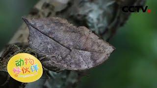 了解有关枯叶蝶的知识 20201213 |《动物好伙伴》CCTV少儿 - YouTube