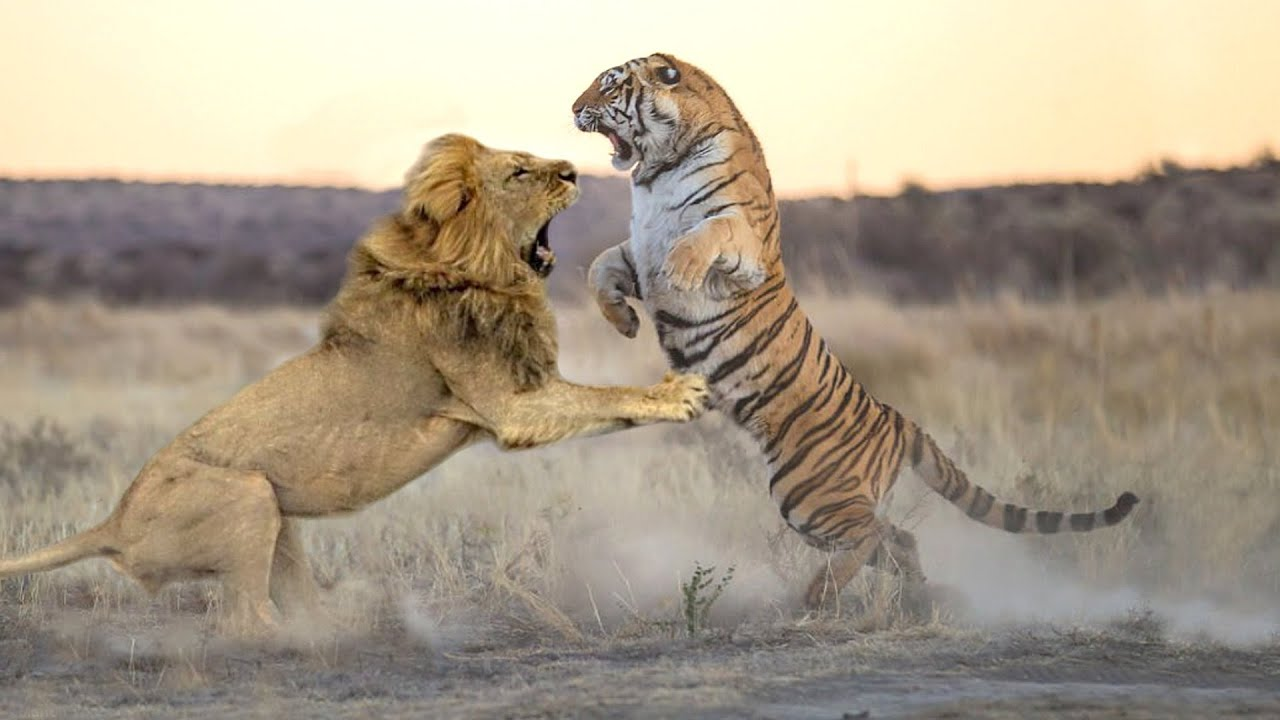 Lion Vs Tiger Who Will Win In A Fight Youtube