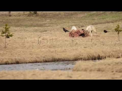 Grizzly Bear and Wolves in Yellowstone May 7, 2016 (Cut 1)