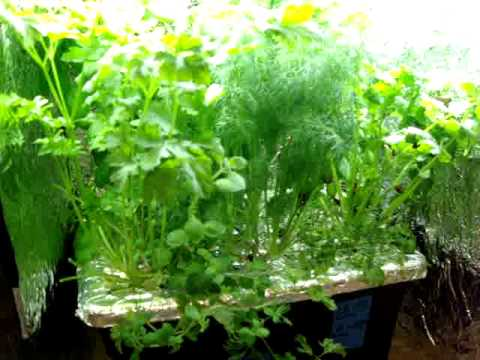 Final Update on indoor hydroponic kitchen herb garden YouTube