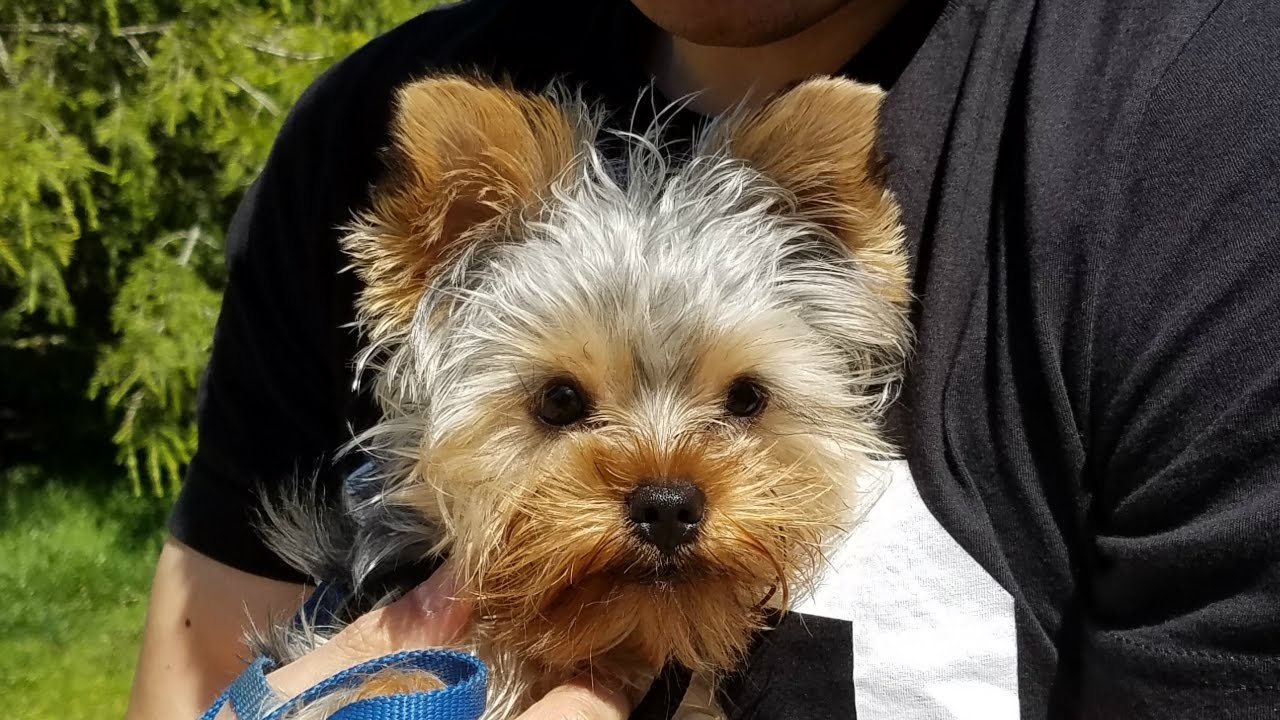 Say Hello To My Little Friend Paxton The Teacup Yorkie Youtube