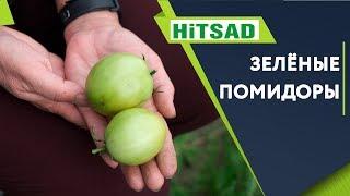 Не Снимайте Зелёные Помидоры Дозаривание Помидор Советы от Хитсад ТВ