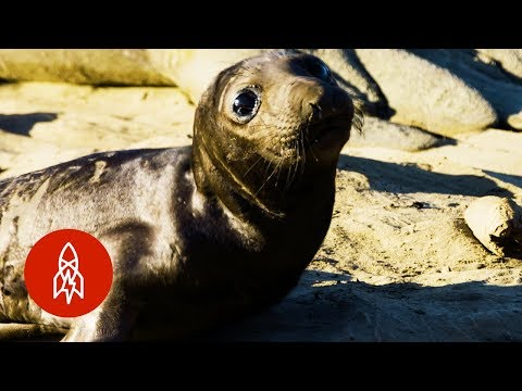 How Elephant Seals Are Helping Scientists Explore the Deep Sea