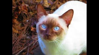 Our  Alex Lilac Point Siamese cat .Nice day / Spring .
