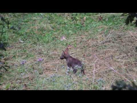 Mamma lupa gioca con i lupacchiotti - Parco Nazionale d'Abruzzo Lazio e Molise