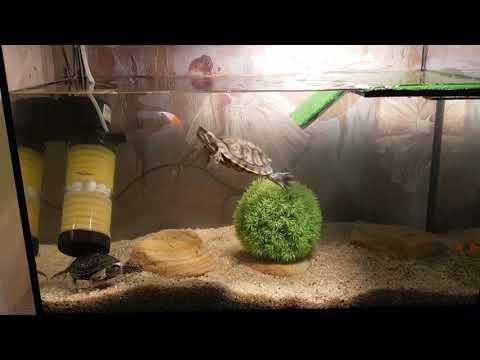 Охота красноухой черепахи за рыбой