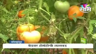 Italian Tomato farming in India