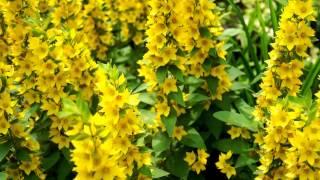 Футаж Жёлтые цветы HD 1080 скачать бесплатно