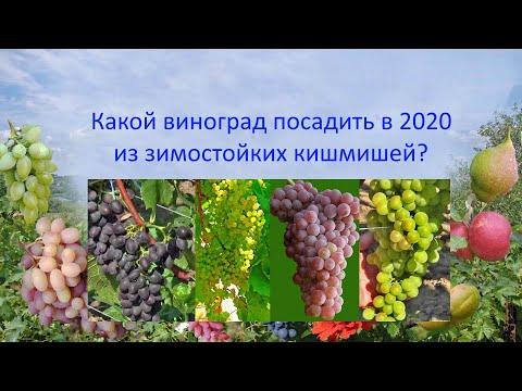 Какой виноград посадить в 2020 из зимостойких кишмишей