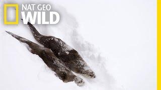 2匹の仲良しカワウソ、雪の斜面を華麗に泳ぐ