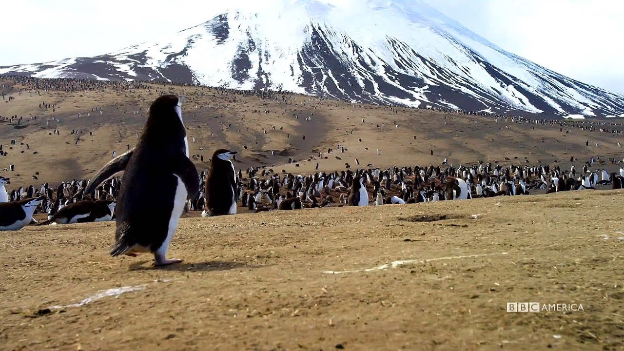 Planet earth ii season 1 episode 2 2016 - Party With A Penguin Planet Earth Ii Series Premiere Coming Early 2017 On Bbc America