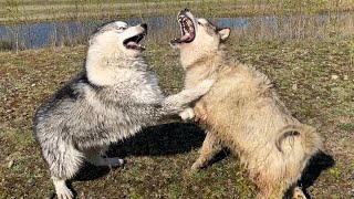 When This Happens It Sounds Bad! Alaskan Malamutes Fight!