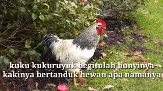 🎵KUKURUYUK ,LAGU ANAK INDONESIA PALING POPULER