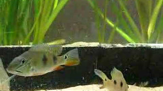 South American Cichlid Species - YouTube