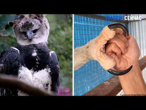 Он вообще настоящий? Орел размером с человека???