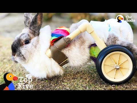 Bunny Uses Cute Little Wheelchair To Hop Around + Brave & Beautiful Bunnies | The Dodo Top 5