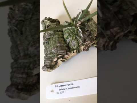 Trichocentrum Jason Fuchs (Stacyi x Jonesianum)