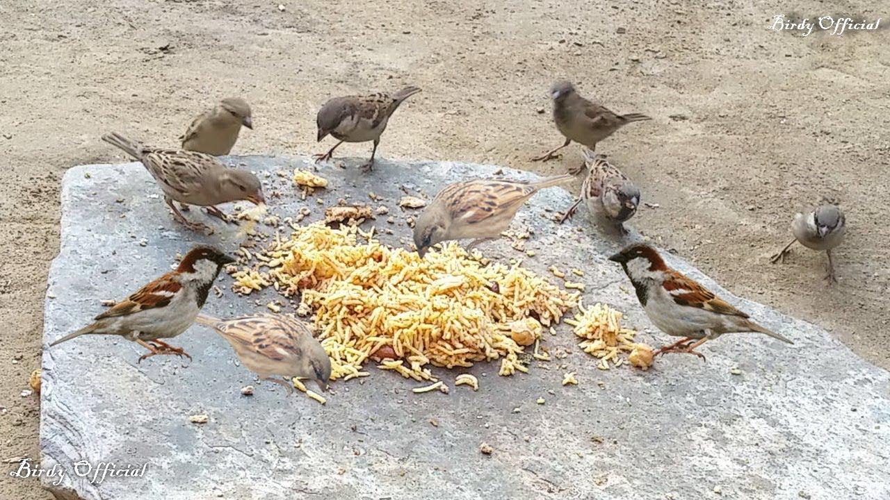 Feeding The Birds House Sparrows