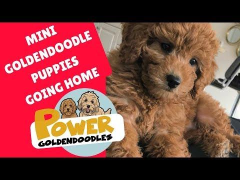 Mini Goldendoodle puppy saying goodbye