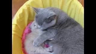 Британская кошка обнимает своего котенка