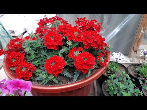 Цветы будут Цвести на зависть всем��Легкий Способ посадки цветов в горшок
