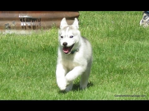 Siberian Husky Puppy Memphis's Story How we got her and Picked her name
